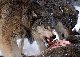 Nutrition of the Wolf